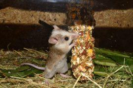 exterminer souris